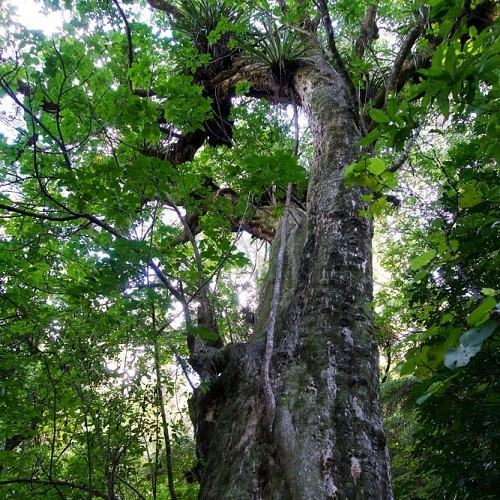 Puriri trees, New Zealand @fivefootronna