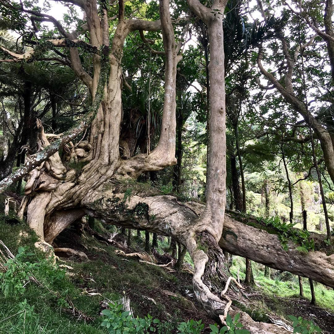 Puriri trees, New Zealand @mis_mayo