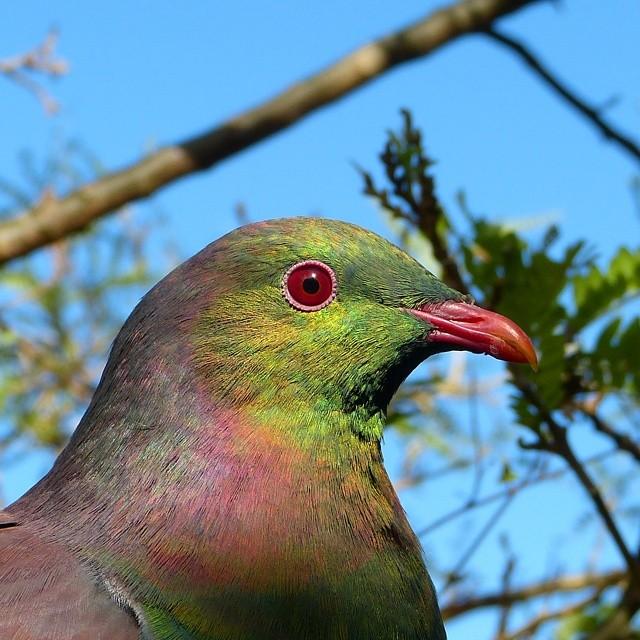 Native wood pigeon, New Zealand @geoffreidnz