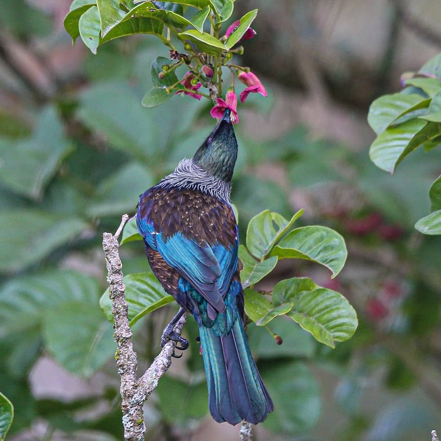 Native wood pigeon, New Zealand @blankenbylclaire