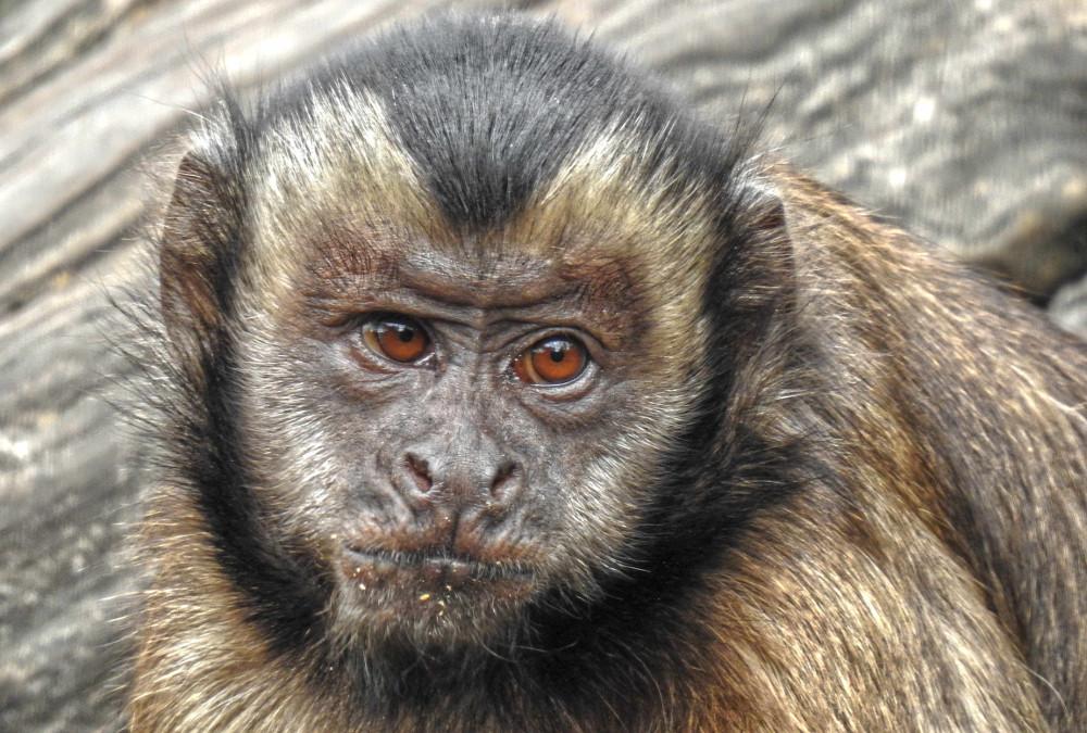 Capuchin monkey in the Orana Wildlife park in Christchurch, New Zealand