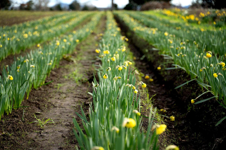 Clandon Daffodils,New Zealand @Feel Good With Flowers