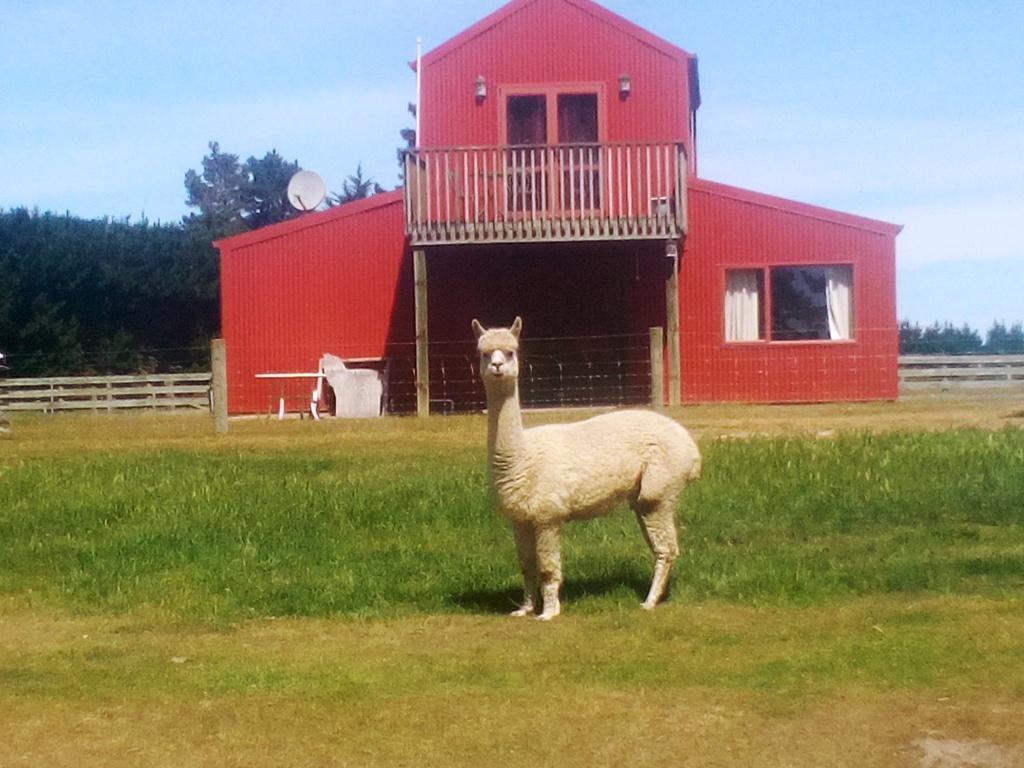 Inquisitive alpaca, Warwickz Farm