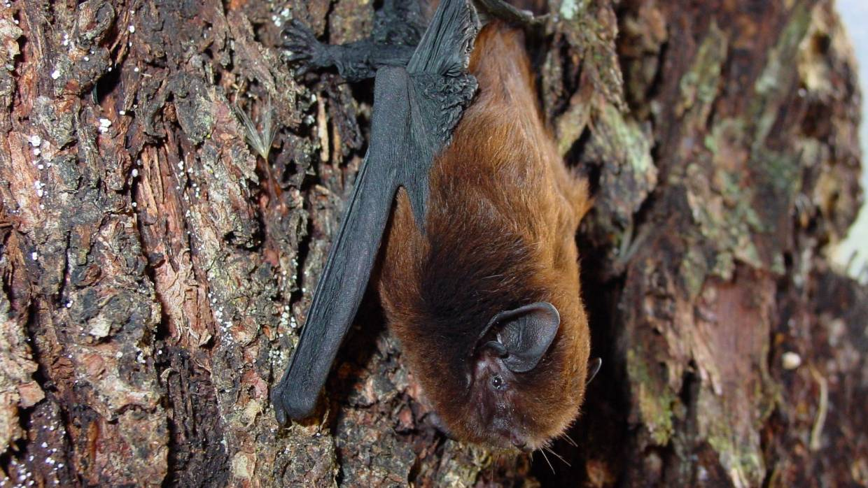 Long-tailed bat, New Zealand @Aongatete Forest Project