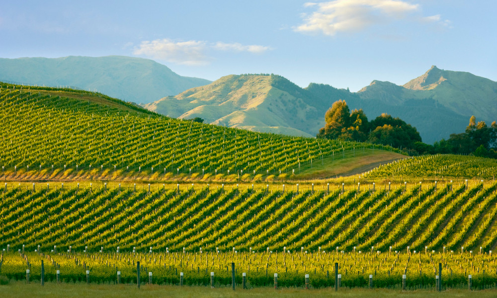 Early morning in a beautiful hillside vineyard in the Marlborough wine growing region of the south island of New Zealand @travellinglight