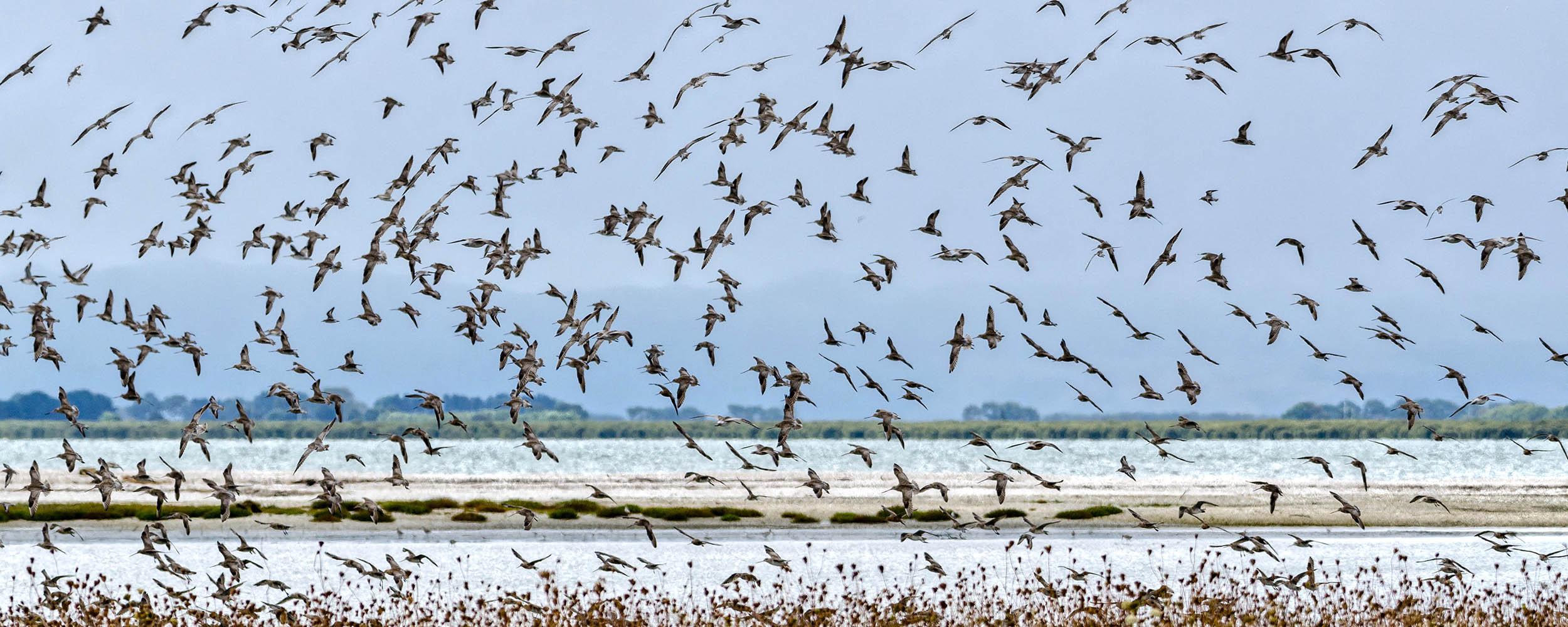 Flock of Flying Birds, Miranda Shore Bird Centre, North Island, New Zealand