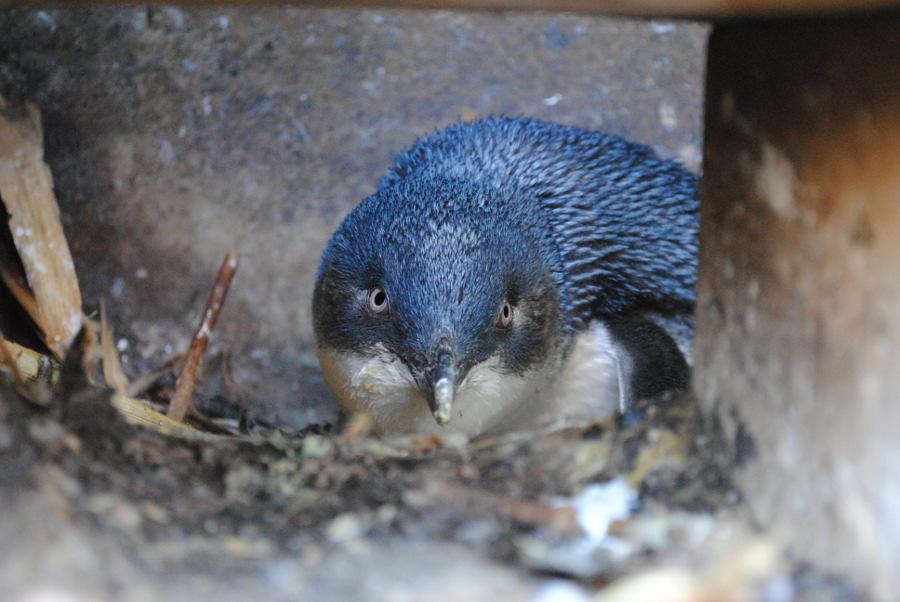 Oamaru Blue Penguin, New Zealand @Penguins