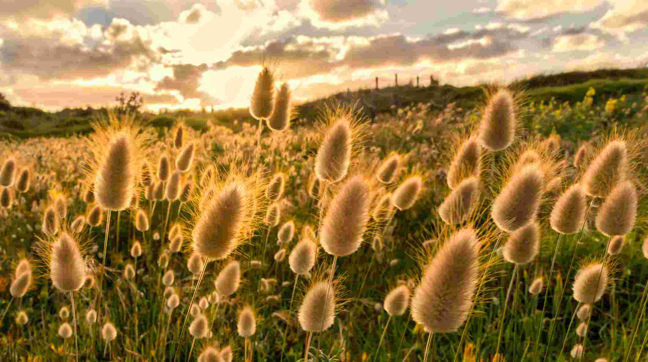 Fluffy Bunny Tails at Piha, West Auckland, New Zealand