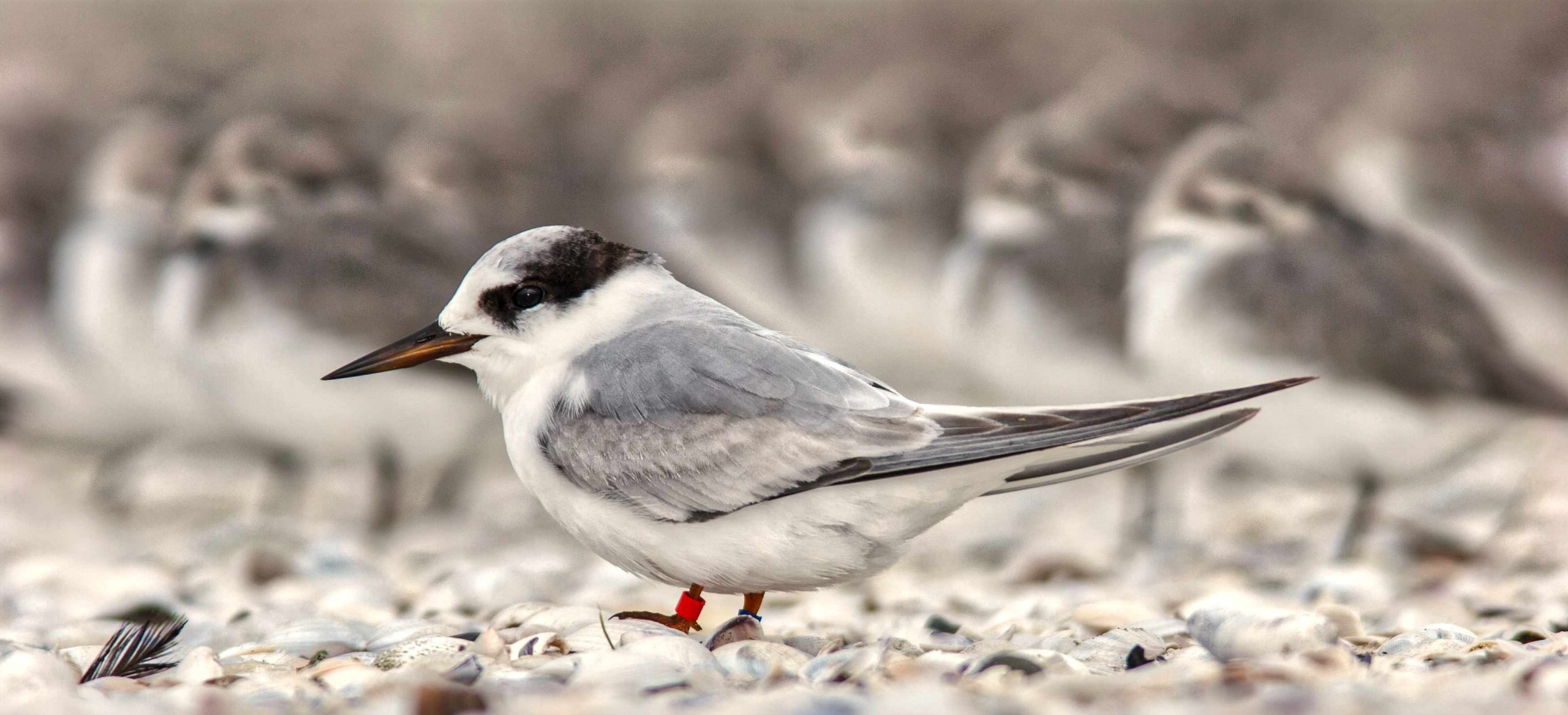 Raukaka Wildlife Reserve, Fairy Tern, v endangered, less than 50 pairs