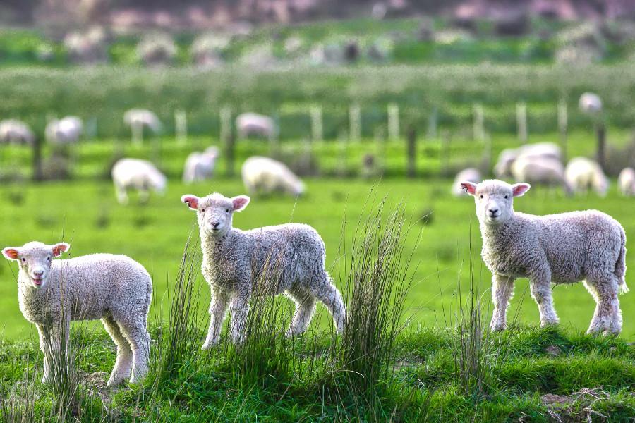 Cute Sheep-run near Marokopa in New Zealand