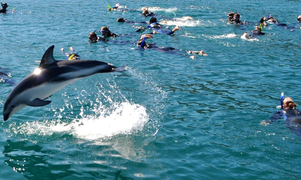 Swimming with Dolphins, Akaroa, New Zealand @Must Do New Zealand