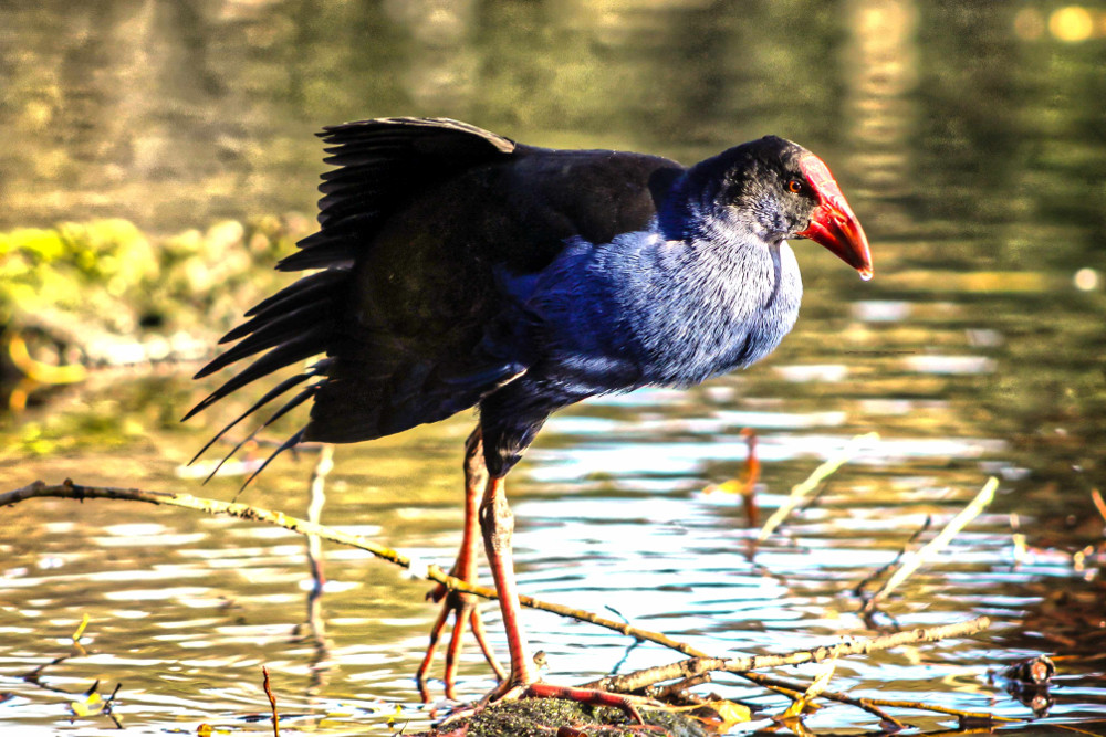 Takahe standing in a shallow pool at the Willowbank Wildlife Reserve in Christchurch, New Zealand
