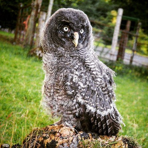 The National Bird of Prey Centre @stanley_the_grey