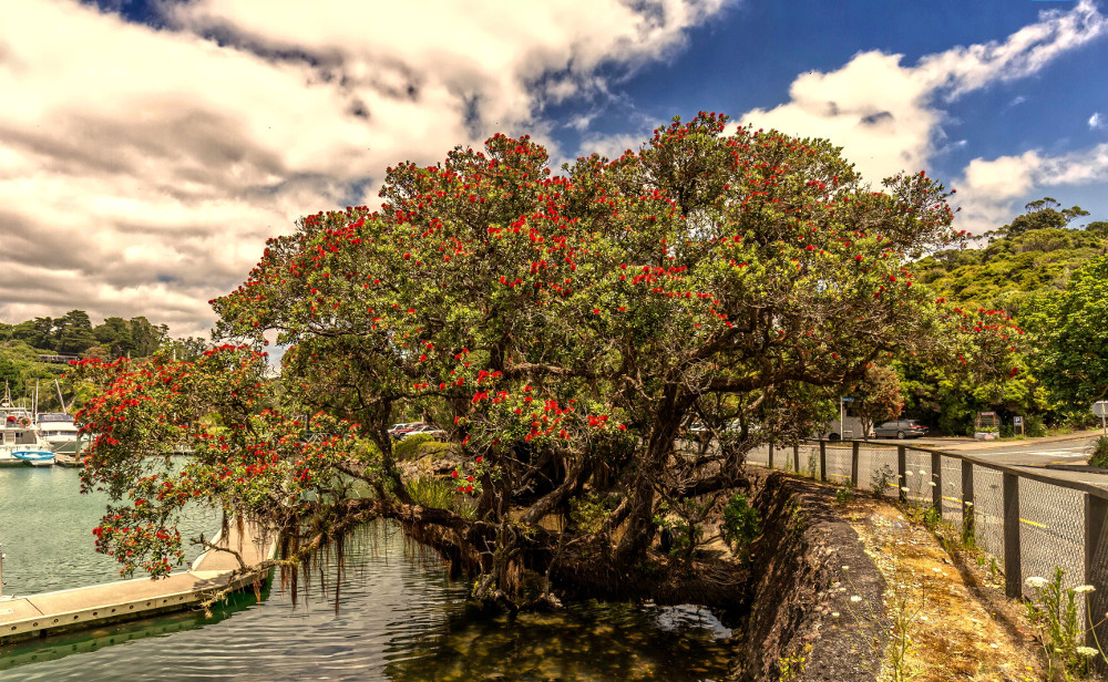 Beautiful Pohutukawa red flowers blossom on the wharf of Tutukaka Marina, New Zealand
