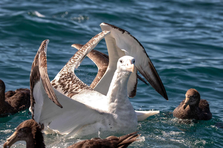 Royal Albatross landing,New Zealand