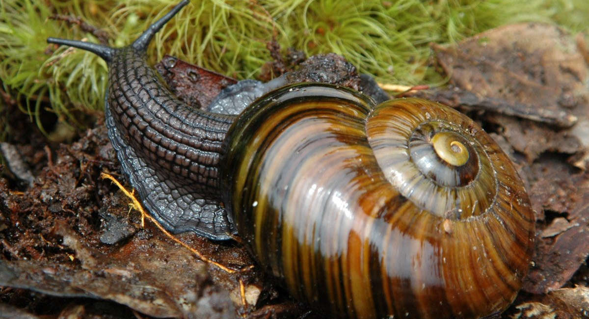 Powelliphanta snail,New Zealand @Department of conservation