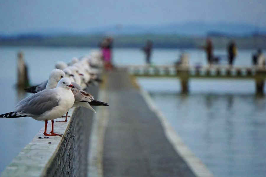 Black billed seagulls,New Zealand @bobaton