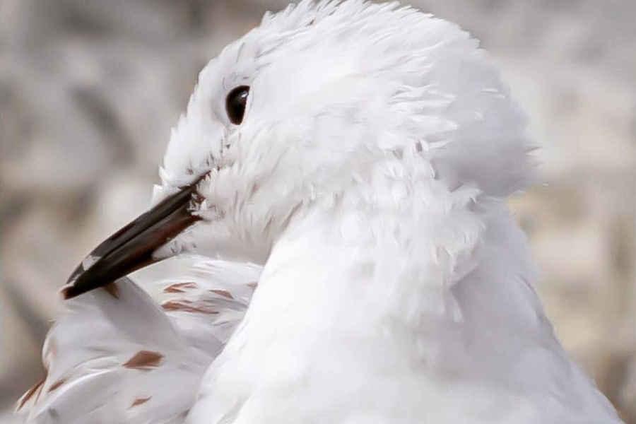 Black billed seagulls,New Zealand @leannebuchanbirdphotography