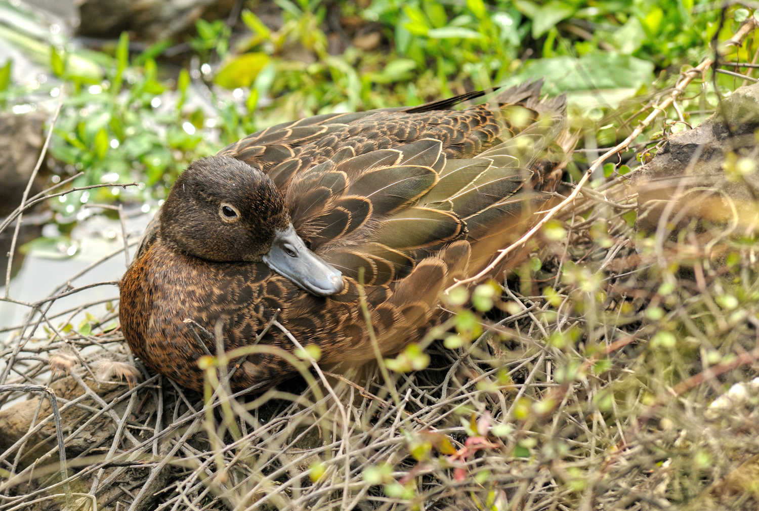 Brown teal native duck