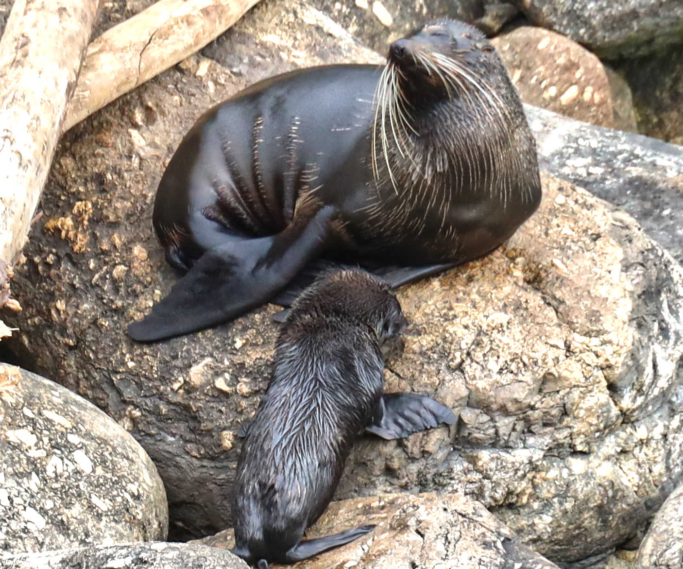 Cape Foulwind seal colony, Westport,New Zealand
