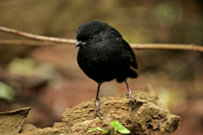 Chatham Islands Black Robin @NZ Birds Online