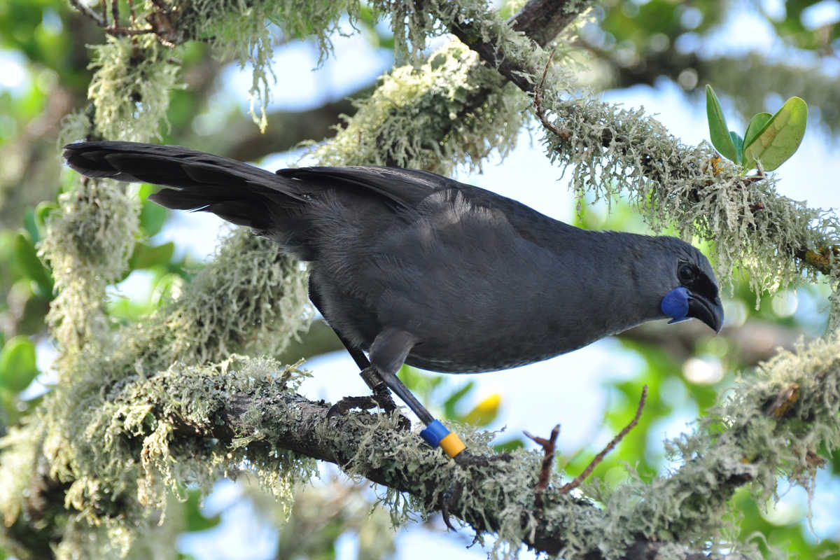 Kokako @NZ Birds Online