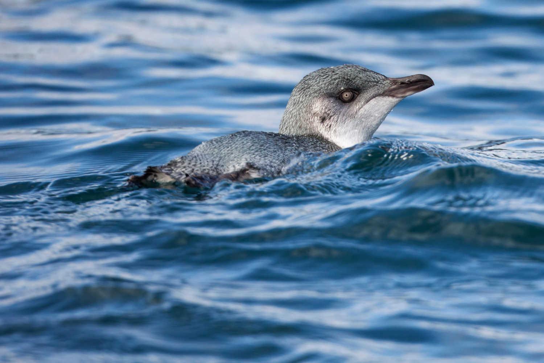 Little blue penguin, Hauraki Gulf