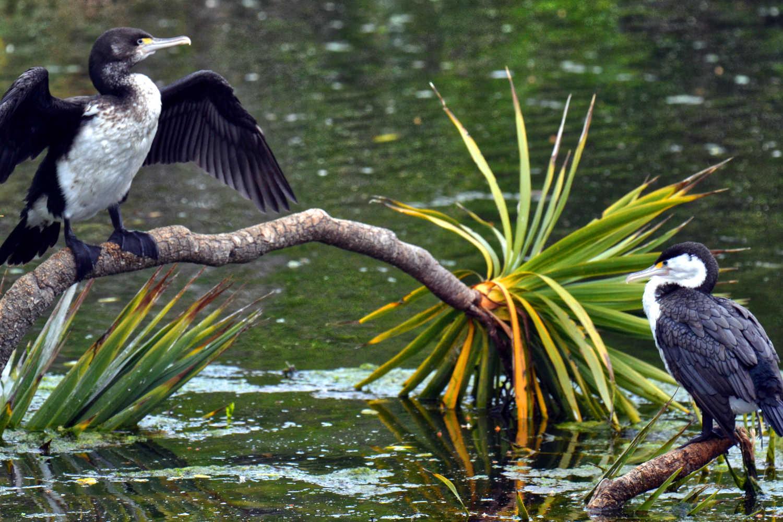 Pair of pied cormorants Kaikoura