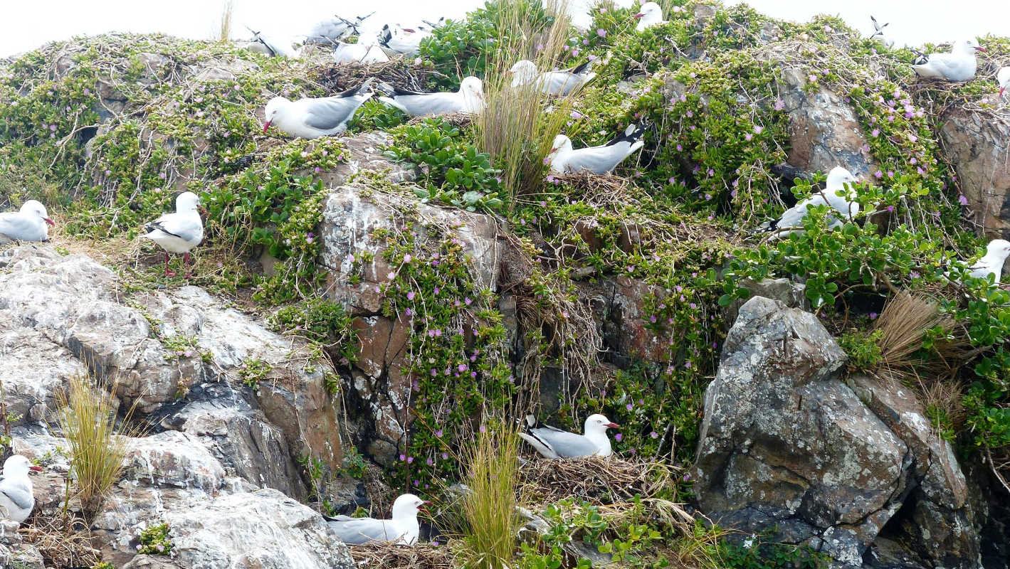 Red billed gulls, Tawharanui Open Sanctury @tossi.org.nz