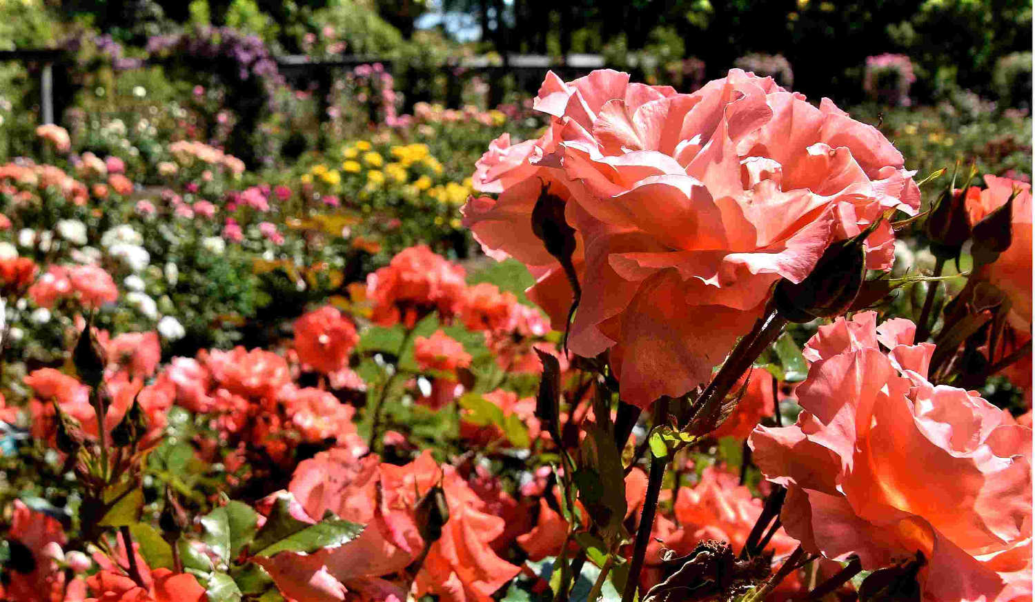 Roses in full glory Queens Park Invercargill, Southland, New Zealand