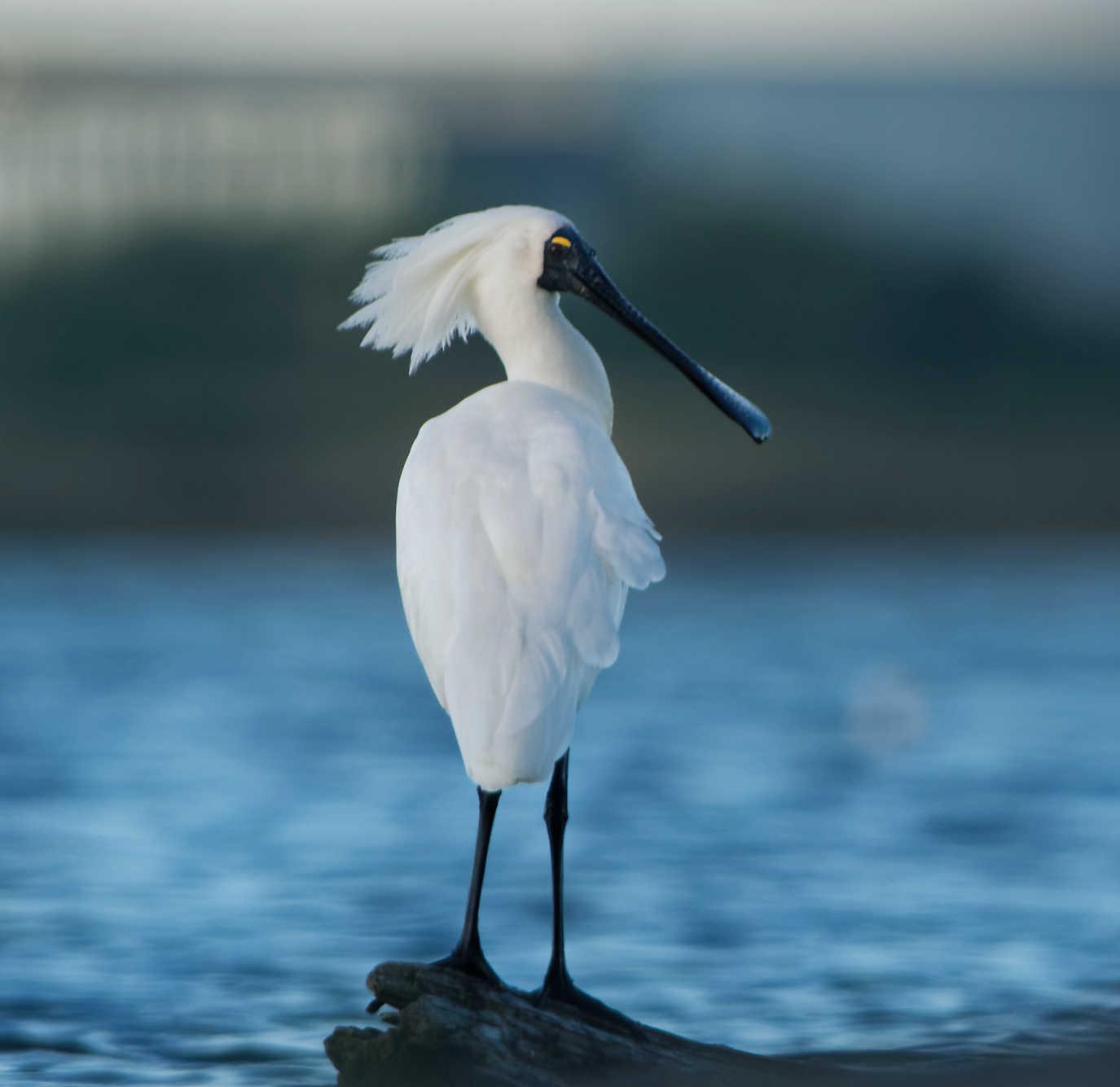 Royal Spoonbill New Zealand bird resident Wairau Lagoon