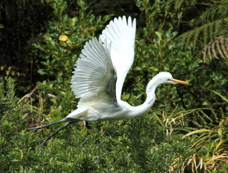 White heron,New Zealand