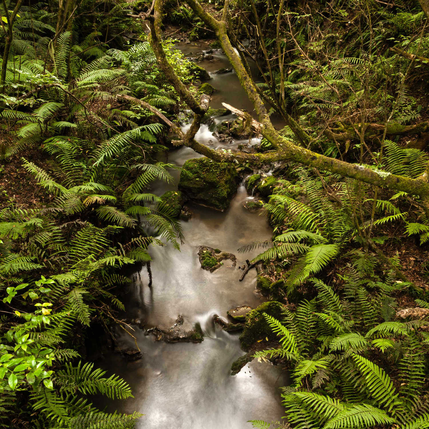 Kareaara stream in the White Pine Forest reserve Hawkes Bay New Zealand