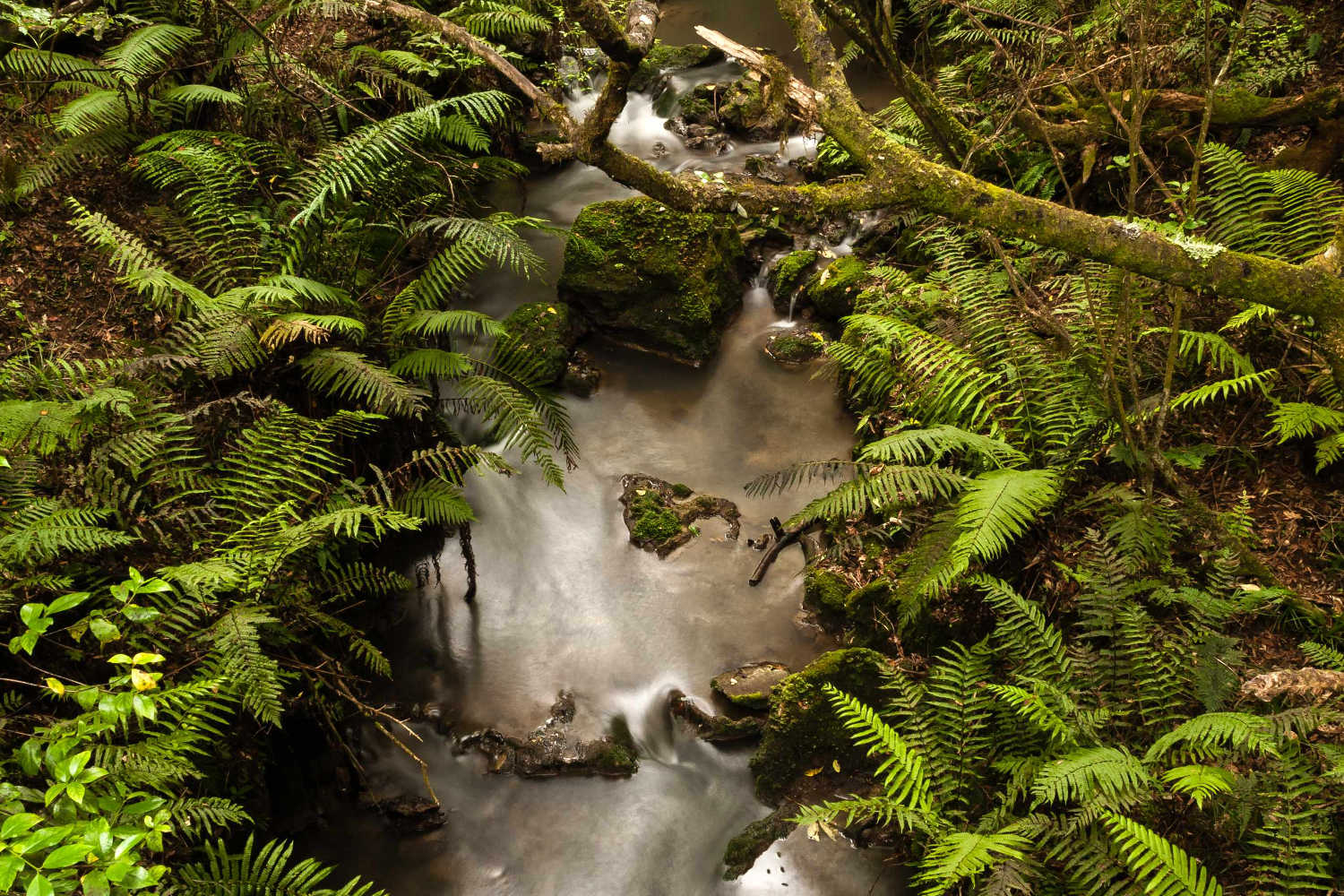 Kareaara stream in the White Pine Forest reserve
